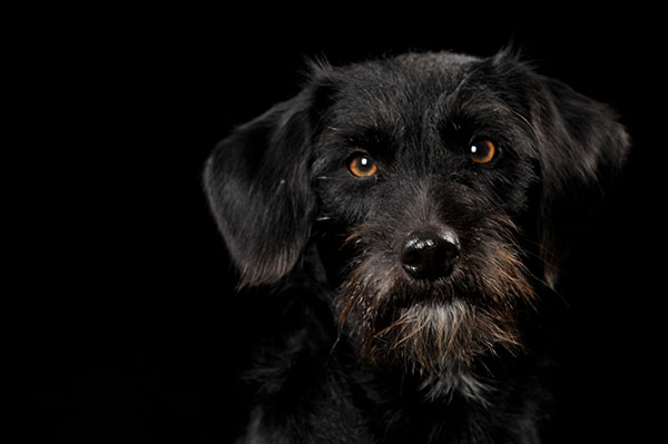 Portrait of a Black Dog