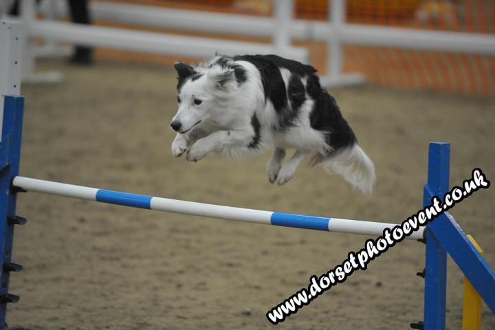 Dog agility collie jumping
